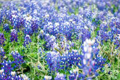 Texas Bluebonnet Blur Wildflower Background. A field of bluebonnets, the Texas state flower, in soft focus creates a pleasant rustic background scene Stock Photography