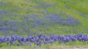 Texas Bluebonnet-Feld im Frühjahr stock video