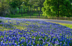 Texas bluebonnet field along country road Royalty Free Stock Photos