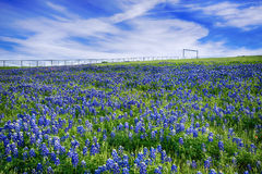 Texas Bluebonnet field in bloom Royalty Free Stock Images