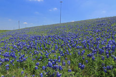 Texas Bluebonnet field Royalty Free Stock Image