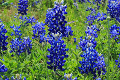 Texas Bluebonnet field Stock Photography