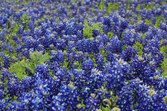 Texas Bluebonnet field Stock Images