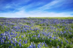 Texas Bluebonnet field blooming in the spring. Blue sky with clouds Royalty Free Stock Images
