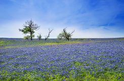 Texas Bluebonnet field blooming in the spring. Blue sky with clouds Royalty Free Stock Photography