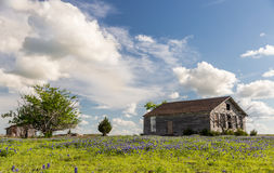 Texas bluebonnet field and old barn in Ennis. Royalty Free Stock Image