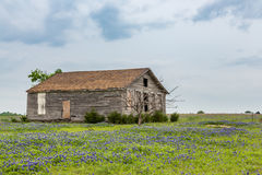 Texas bluebonnet field and old barn in Ennis Royalty Free Stock Photos