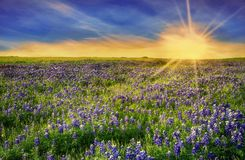 Texas Bluebonnet field at sunset. Texas Bluebonnet field blooming in the spring at sunset royalty free stock photo