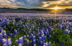Texas bluebonnet field in sunset at Muleshoe Bend Recreation Are. Texas bluebonnet wildflower sunset at, Musleshoe Bend Recreation Area stock images