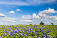 Texas Bluebonnet filed and blue sky in Ennis. Texas Bluebonnet filed and blue sky Royalty Free Stock Photo