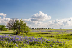 Texas Bluebonnet filed and blue sky in Ennis.  Stock Images