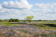 Texas Bluebonnet filed and blue sky in Ennis.  Royalty Free Stock Photos
