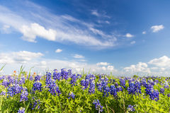Texas Bluebonnet filed and blue sky in Ennis.. Texas Bluebonnet filed and blue sky in Ennis Royalty Free Stock Images