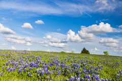 Texas Bluebonnet filed and blue sky in Ennis. Stock Photo