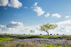 Texas Bluebonnet filed and farmland in Ennis. Texas Bluebonnet filed and farmland Royalty Free Stock Photo