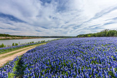 Texas Bluebonnet filed  in Muleshoe bend recreation area near Au Stock Photo