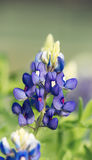 Texas Bluebonnet flower (Lupinus texensis) Stock Image