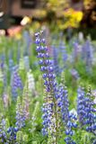 Texas Bluebonnet flower (Lupinus texensis) with colorful background. Beautiful Texas Bluebonnet flower (Lupinus texensis) with colorful background Royalty Free Stock Photography