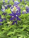 Texas Bluebonnet Flower Stock Image