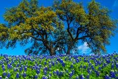 Texas Bluebonnet Flowers avec l'arbre Image stock