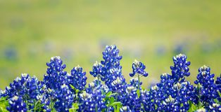 Texas Bluebonnet flowers blooming in spring. Texas Bluebonnet Lupinus texensis flowers blooming in springtime. Selective focus. Natural geen background with copy stock photography