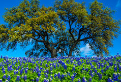Texas Bluebonnet Flowers with Tree Stock Image