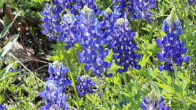 Texas Bluebonnet-gebied in de lente stock videobeelden