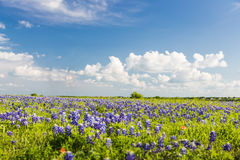 Texas Bluebonnet ha archivato e cielo blu in Ennis Immagine Stock