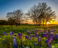 Texas-Bluebonnet im Frühjahr archiviert bei Sonnenuntergang lizenzfreie stockfotografie
