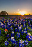 Texas bluebonnet and indian paintbrush filed in sunset Royalty Free Stock Images