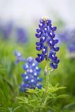 Texas Bluebonnet (Lupinus texensis). Closeup of Texas Bluebonnet flower (Lupinus texensis royalty free stock photo