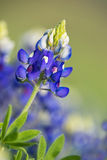 Texas Bluebonnet (Lupinus texensis) flower Stock Photos