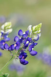 Texas bluebonnet (Lupinus texensis). Flower closeup stock photos
