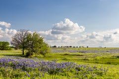 Texas Bluebonnet sparade och blå himmel i Ennis Arkivbilder