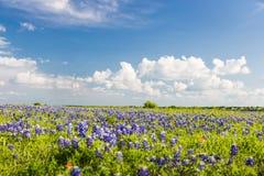 Texas Bluebonnet sparade och blå himmel i Ennis Fotografering för Bildbyråer