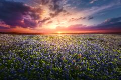 Texas Bluebonnet Sunset. Texas pasture filled with bluebonnets at sunset royalty free stock photos