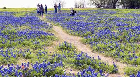 Texas Bluebonnet Trails. Royalty Free Stock Photography