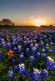Texas-Bluebonnet und indischer Malerpinsel archivierten im Sonnenuntergang lizenzfreie stockbilder