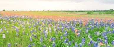 Texas Bluebonnet und indischer Malerpinsel blühen in ländlichem Texas, U lizenzfreies stockfoto
