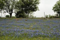 Texas Bluebonnet Wildflower Hillside foto de stock