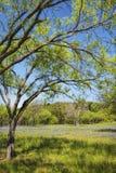 Texas Bluebonnet Wildflower Landscape 2 Stock Photos