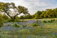 Bluebonnets in the Texas Hill Country stock photos