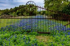 Texas Bluebonnet Wildflowers spesso sulla vecchia strada immagine stock libera da diritti