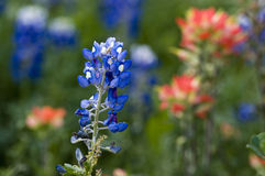 Texas Bluebonnet & Wildflowers Upclose Royalty Free Stock Photography