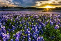 Texas-Bluebonnetfeld im Sonnenuntergang am Muleshoe-Biegungs-Erholungsgebiet Stockfotos