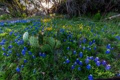 Texas Bluebonnets à la courbure de Muleshoe dans le Texas photos stock