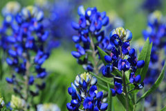 Texas Bluebonnets Image libre de droits