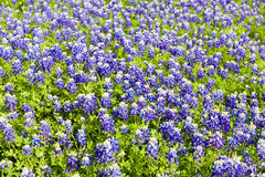 Texas Bluebonnets foto de stock royalty free