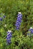 Texas Bluebonnets Fotografia Stock Libera da Diritti