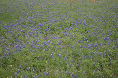 Texas Bluebonnets Stockfoto